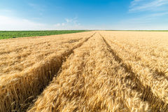 Ripe wheat field on sunny day. Stock Photo