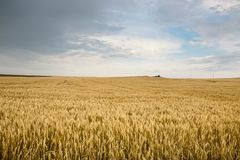 Ripe wheat in a field. On a sunny day Royalty Free Stock Photos