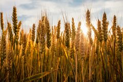 Ripe wheat in a field. On a sunny day Royalty Free Stock Images