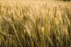 Ripe wheat in a field. On a sunny day Stock Photos