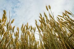 Ripe wheat in a field. On a sunny day Stock Images