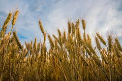 Ripe wheat in a field. On a sunny day Royalty Free Stock Image