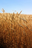 Ripe Wheat in a Field on Sunny Day. Yellow ripe wheat in a field on a Bright Sunny Day Royalty Free Stock Photo