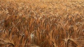 Ripe wheat in the field. Ripe wheat swaying in wind in field stock video