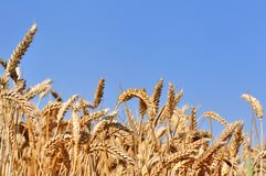 Ripe wheat in field. Under blue sky Stock Photography