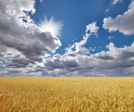 Ripe wheat field under cloudy sky Stock Images