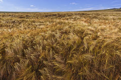 Ripe wheat field. Vast ripe wheat field on a clear summer day Stock Photo