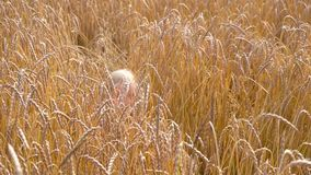 Ripe wheat field view. Close up view stock video