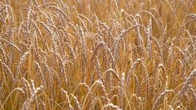 Ripe wheat field view stock video