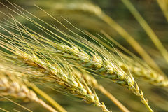 Ripe wheat growing in a wheat field Royalty Free Stock Image