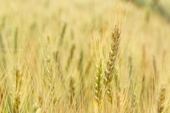 Ripe wheat growing in a wheat field Royalty Free Stock Photos