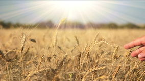 Ripe wheat, hand and the sun Stock Photography