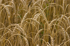 Ripe wheat before harvesting Stock Photo