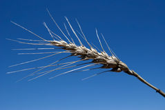 Ripe Wheat Head. Kansas wheat head detail with blue sky background Royalty Free Stock Photo