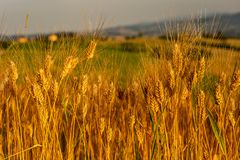Ripe wheat in June. Ripe ancient wheat in June in italian country royalty free stock photo