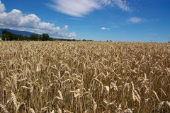 Ripe wheat landscape. Rural horizontal landscape with field of ripe wheat under clouds and blue sky Royalty Free Stock Photography