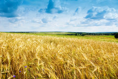 Ripe wheat landscape against blue sky Stock Photo