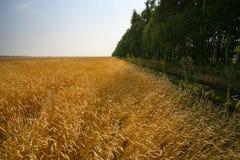 Ripe wheat landscape Royalty Free Stock Photography