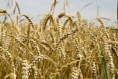 Ripe wheat Royalty Free Stock Image