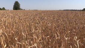 Ripe wheat plant crop ears grow in field. Left side sliding stock video