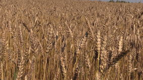Ripe wheat plant crop ears move in wind. Backward sliding stock footage