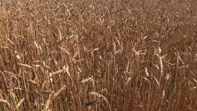 Ripe wheat plant crop ears move in wind. Left side sliding stock footage
