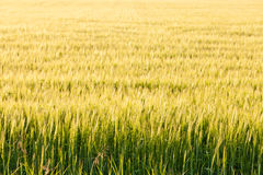 Ripe wheat plants on field in warm evening sun. Warm yellow evening sun on ripe wheat plants on field  Alberta  Canada Royalty Free Stock Image
