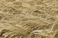 Ripe wheat ready for harvest Royalty Free Stock Photos