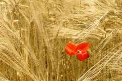 Ripe wheat and red poppy Stock Photos