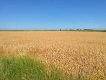 Ripe wheat. South, Russia stock image