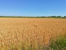 Ripe wheat. South, Russia royalty free stock photos