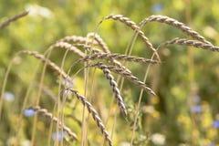 Ripe wheat Stock Photos