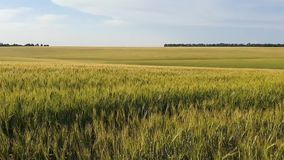 Ripe wheat and rye field at sunset, the ears of wheat and rye sway in the wind, the concept of harvest, wealth and prosperity of t. He country stock footage