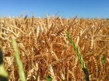 Ripe wheat. South, Russia stock images