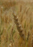 Ripe wheat spike macro shot stock photo Royalty Free Stock Photos