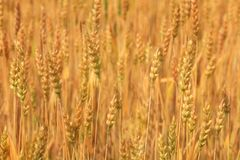 Ripe wheat. Spikelets of ripe wheat on a blurred background of other spikelets royalty free stock photos