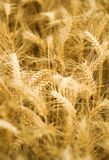 Ripe wheat spikes Stock Images