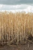 Ripe wheat spikes at the edge of the field from close royalty free stock images