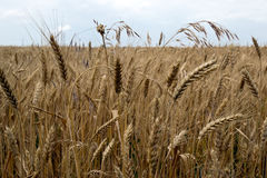 Ripe wheat stalks Royalty Free Stock Photography
