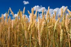 Ripe wheat stalks Royalty Free Stock Image