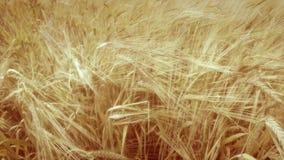 Ripe wheat stalks stock video