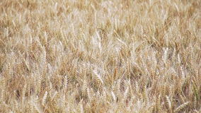 Ripe wheat in Sunny weather, close-up stock footage