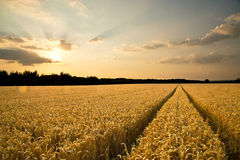 Ripe wheat at sunset. In natural lights Royalty Free Stock Images