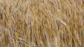 Ripe wheat stock video footage