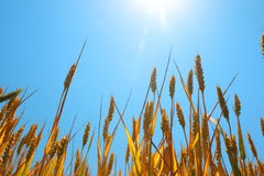 Ripe wheat under blue sky and sun. Royalty Free Stock Images
