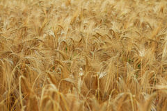 Ripe wheat wind in field Royalty Free Stock Images