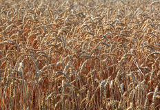 Ripe wheatfield. In the summer Royalty Free Stock Photos