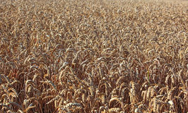 Ripe wheatfield. In the summer Stock Image