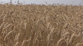 Ripe wheats and combine harvest. Stork birds fly. Panorama stock video
