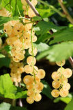 Ripe white currants. Royalty Free Stock Images